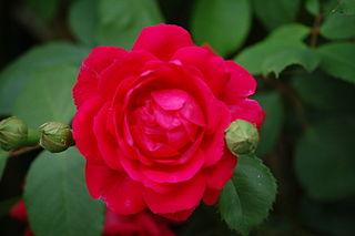 Pauls_Scarlet_(Paul_1915)_320px-